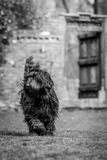 Briard walking infront of garden gate Royalty Free Stock Image