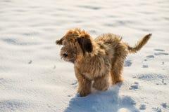 Briardpuppy op sneeuw stock foto