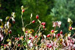 Briarfrucht Stockbilder