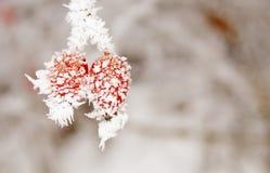 Briars cubiertos en hielo Imagen de archivo libre de regalías