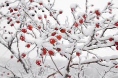 Briars fruit covered in snow Royalty Free Stock Photos