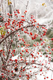 Briars fruit and freezing fog. Red briars fruit covered by freezing fog Royalty Free Stock Photos