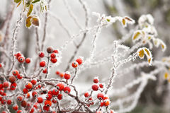 Briars fruit and freezing fog Royalty Free Stock Photo