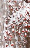 Briarsfruit in de wintertijd Royalty-vrije Stock Fotografie