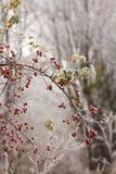 Briarsfruit en het bevriezen mist Stock Foto