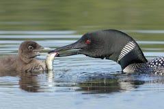 Bribón común (immer del Gavia) que alimenta un pescado a su bebé Imágenes de archivo libres de regalías