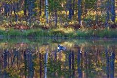 Bribón throated rojo en un lago Fotos de archivo libres de regalías