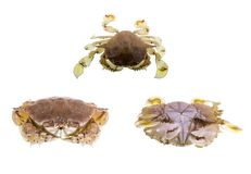 Bribie Island Moon Crab. The common moon crab, Matuta victor, is a small benthic tropical crab with a rounded carapace, two long lateral spines, yellowish color Royalty Free Stock Image