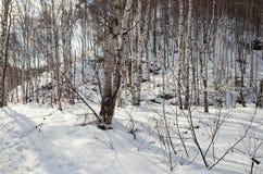 Brich las w zimie Obrazy Royalty Free