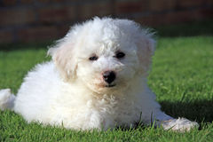 Brichon Frese Puppy Stock Photography