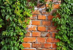 Brick. A fragment of a brick wall of an old house overgrown with ivy Stock Photography