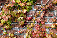 Brick Background With Vines Stock Photography