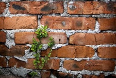 Brick and Branch. Red brick walls with a branch with green leaves Stock Photography