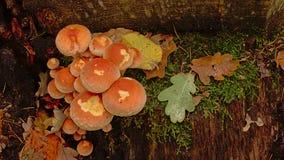 Brick cap mushrooms growing on a tree trunk on the forest foor. Brick cap mushrooms growing on a cut tree trunk on the forest foor - Hypholoma lateritium stock photos