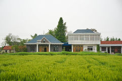 A brick Chinese village house and a big ginkgo tree Stock Photography