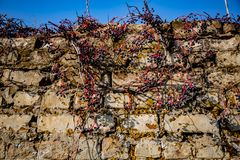 Brick fence with wild grapes stock images