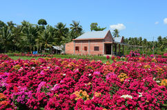 A brick house with Bougainvillea flowers in Vinh Long, Vietnam.  Royalty Free Stock Photography