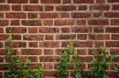 Brick Ivy. English ivy grows up a brick wall Stock Photography