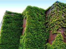 Brick and Ivy. Brick building overgrown with ivy Royalty Free Stock Photos