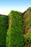 Brick and Ivy. Brick building overgrown with ivy Stock Image