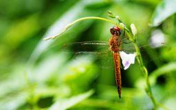 A brick red dragonfly on trumpet flower stock images