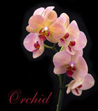 Brick red orchid in the pot Stock Images