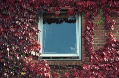 Brick red wall with window and red leaves. Red brick wall of a small Danish house with a window sorrounded by red leaves in Denmark, Skagen. Analog photography Royalty Free Stock Image
