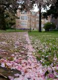 Brick road covered by cherry petals Stock Image