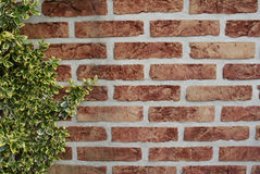 Brick wall. And ivy at the left of the picture royalty free stock image