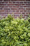 Brick wall background with bushes royalty free stock photos
