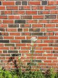 Brick Wall Background with Queen Anne`s Lace flower Royalty Free Stock Photo
