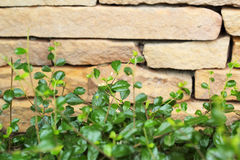 Brick wall background texture - vintage with tree Stock Image