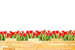 Brick wall with beautiful red tulips behind Royalty Free Stock Image