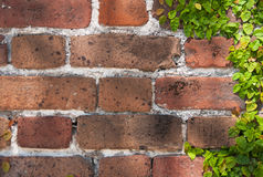Brick Wall and Clinging Vine Stock Images