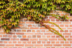 Brick wall is covered with autumn grape leaves. Background Stock Photo