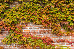 Brick wall is covered with autumn grape leaves. Background Royalty Free Stock Image