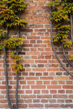 Brick wall is covered with autumn grape leaves. Background. Verical Royalty Free Stock Images