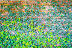 Brick wall covered in green  ivy . Royalty Free Stock Photos