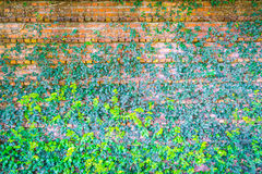 Brick wall covered in green  ivy . Stock Images