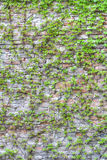 Brick wall covered in green ivy. Large brick wall covered in green ivy Royalty Free Stock Photos