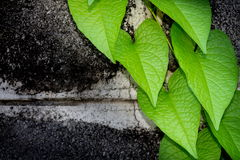 Brick wall covered in green ivy Royalty Free Stock Photography