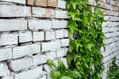Brick wall covered. With vine Stock Images