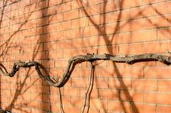 Brick wall with creeper Stock Photos