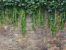 Brick wall with foliage. Brick wall with green foliage Royalty Free Stock Image