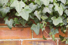 Brick wall with green ivy Stock Photo