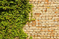Brick wall green leaves. Red brick wall with green leaves of ivy-berry, background with copy space Royalty Free Stock Photography