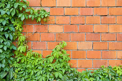 Brick wall and ivy Royalty Free Stock Photos