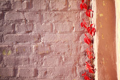 Brick wall and ivy autumn Stock Images