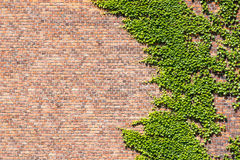 Brick Wall and Ivy. Overgrown Brick Wall and Leaves for Backgrounds Royalty Free Stock Photos