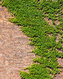 Brick Wall and Ivy. Overgrown Brick Wall and Leaves for Backgrounds Royalty Free Stock Image